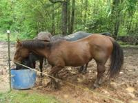 7 year old quarter horse gelding -- Real quite, laid