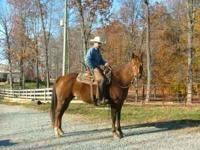 15.3 hand Quarter Horse Mare 13 yrs old, Anybody can
