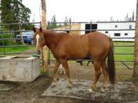 Reg. Quarter Horse mare 6 years old, this mare has be