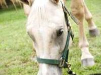 4 year old quarter horse mare. Shown in Halter and