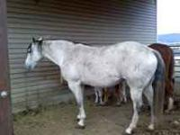 Registered 14 Yr. old quarter horse mare, well trained,