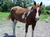 Double Registered Paint/Pinto Quarter Horse mare, 7 yrs
