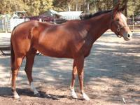 Mare: ?Temper Time? ? Appendix Quarter Horse ? Foaling