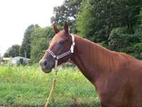 7 year old sorrel mare, no white markings. Was being