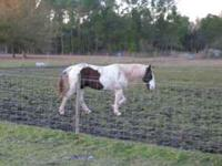 Quarter Horse Paint - 11 years old, 15.2hh. Needs