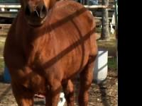 Stallion- 15 year old registered sorrel quarter horse