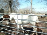 Description THREE QUARTER HORSES MARES for sale