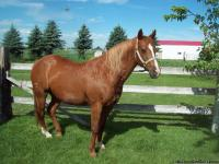 Nice 17 year old quarter horse grade mare for sale.