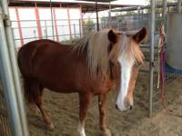Ginger is 15 year old, 14 hands quarter pony. She was