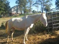 I am selling a blue eyed cremello mare quarterhorse.