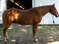 Quarterhorse - Ace - Large - Adult - Male - Horse 16 yr