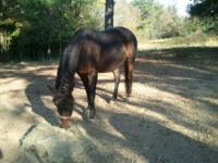 Quarterhorse - Angel - Extra Large - Young - Female -