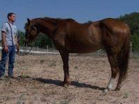 Quarterhorse - Argo - Large - Adult - Female - Horse