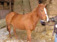 Quarterhorse - Ariel - Large - Adult - Female - Horse