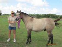 Quarterhorse - Baby Girl - Medium - Young - Female -