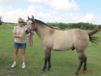 Quarterhorse - Baby Ray - Medium - Young - Male -