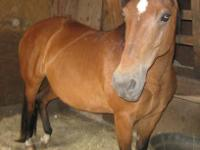 Quarterhorse - Bay Mare - Medium - Adult - Female -