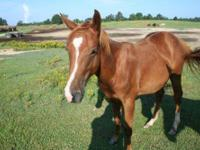 Quarterhorse - Bingo - Medium - Baby - Male - Horse