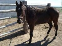 Quarterhorse - Black Jack - Medium - Young - Male -