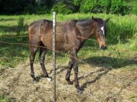 Quarterhorse - Bo - Large - Young - Male - Horse Bo is
