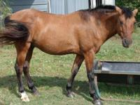 Quarterhorse - Brody - Extra Large - Young - Male -