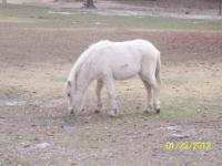 Quarterhorse - Buck - Large - Adult - Male - Horse This