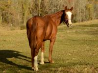 Quarterhorse - Buck - Medium - Adult - Male - Horse