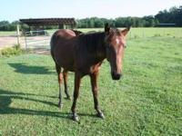 Quarterhorse - Champ - Large - Baby - Male - Horse