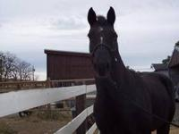 Quarterhorse - Charlie - Large - Adult - Male - Horse