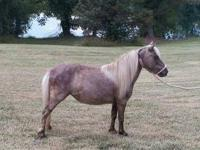 Quarterhorse - Charlie - Medium - Adult - Male - Horse