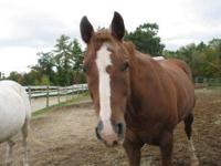 Quarterhorse - Charm - Medium - Adult - Male - Horse