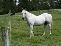 Quarterhorse - Chelsea - Medium - Adult - Female -