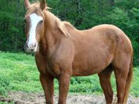 Quarterhorse - Chester - Large - Adult - Male - Horse