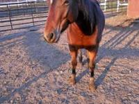 Quarterhorse - Cheyanne - Medium - Young - Female -