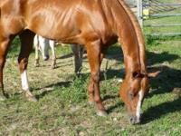 Quarterhorse - Chloe - Medium - Adult - Female - Horse