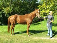 Quarterhorse - Clementine - Large - Adult - Female -