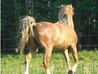 Quarterhorse - Cupid - Medium - Young - Female - Horse