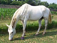 Quarterhorse - Dakota - Large - Adult - Male - Horse