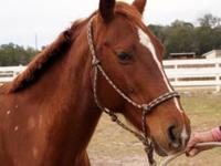 Quarterhorse - Dixie - Small - Adult - Female - Horse