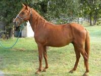 Quarterhorse - Dobbin - Small - Young - Male - Horse