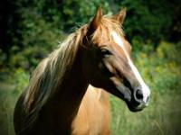 Quarterhorse - Emily Jane - Medium - Adult - Female -