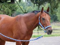 Quarterhorse - Fairmont - Medium - Young - Male -