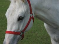 Quarterhorse - Fire Storm - Medium - Baby - Female -