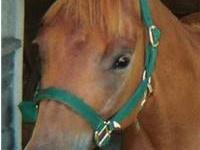 Quarterhorse - Forrest - Medium - Baby - Male - Horse