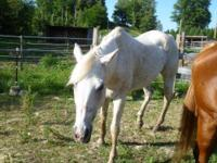 Quarterhorse - Freckles - Medium - Adult - Female -