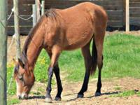 Quarterhorse - Freckles - Medium - Young - Female -