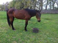 Quarterhorse - Gypsy - Large - Adult - Female - Horse