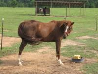 Quarterhorse - Holly - Small - Adult - Female - Horse