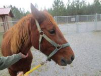 Quarterhorse - Honey Boo-boo - Medium - Adult - Female