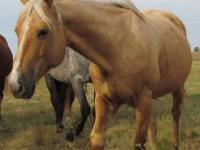 Quarterhorse - Honey - Large - Adult - Female - Horse